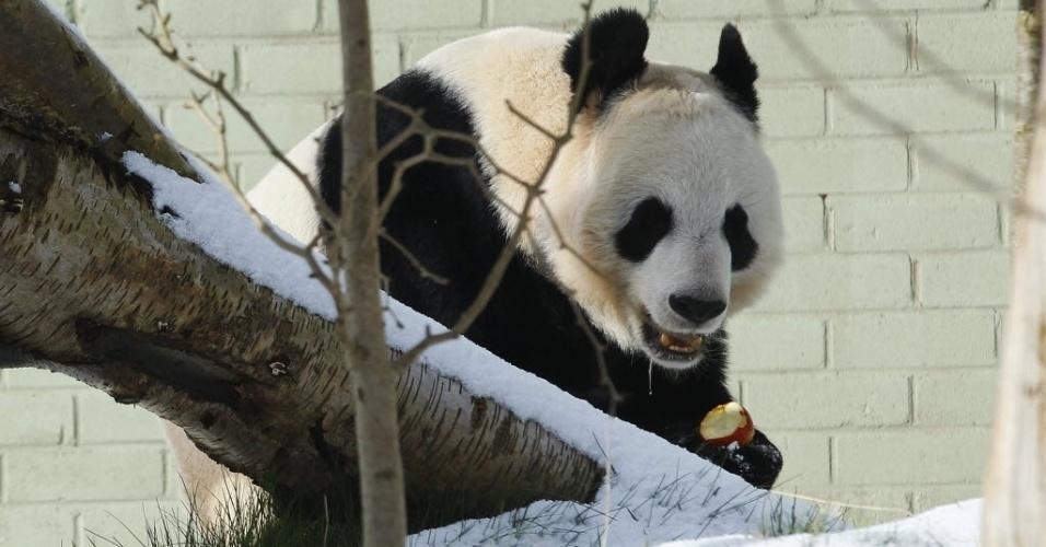 11.mar.2013 - Panda fêmea gigante Tian Tian come uma maçã em sua jaula no zoo de Edinburgo, no Reino Unido