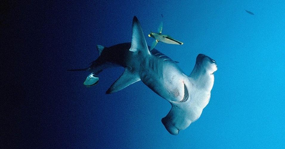 14.ar.2013- Três espécies de tubarão martelo (Sphyrna) foram incluídas em lista de animais cujo o comércio internacional será controlado. A decisão foi tomada na 16ª Conferência da Cites (Convenção Sobre o Comércio Internacional de Espécies da Flora e Fauna Selvagens em Perigo de Extinção). Este é o gênero de tubarão mais ameaçado de extinção