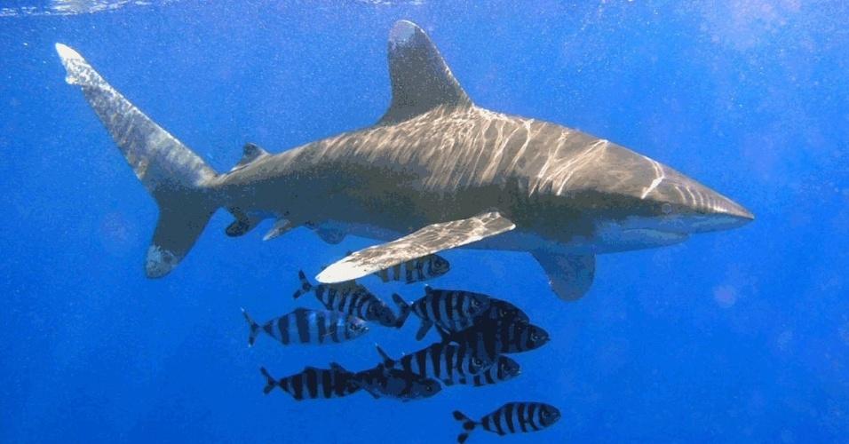 14.mar.2013- O tubarão galha-branca-oceânica (Carcharhinus longimanus) é outra espécie vulnerável que foi incluída em lista de animais cujo o comércio internacional será controlado. A decisão foi tomada na 16ª Conferência da Cites (Convenção Sobre o Comércio Internacional de Espécies da Flora e Fauna Selvagens em Perigo de Extinção)