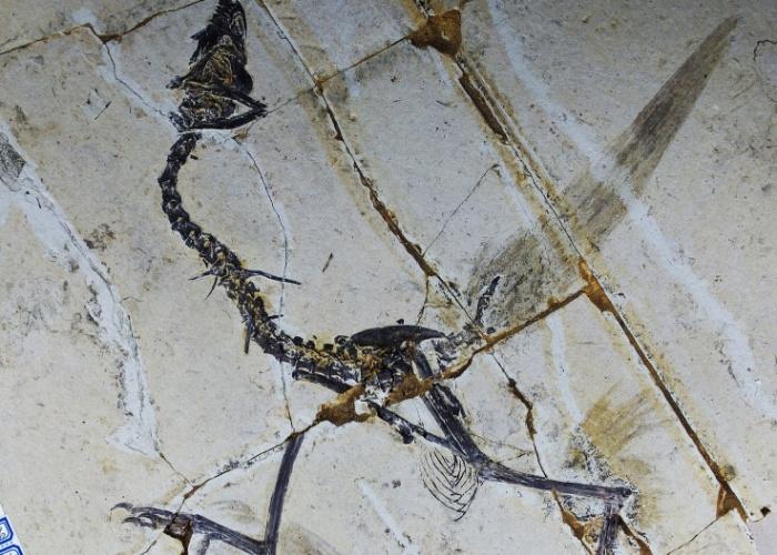 """15.mar.2013 - Estudo mostra que aves primitivas tinham quatro asas ao invés de duas. O """"Sapeornis"""", um tipo de ave conhecido pelos cientistas por anos, mas só agora eles perceberam que os pássaros tinham 4 asas, há mais de 120 milhões de anos, antes de a evolução levá-los a abandonar suas penas traseiras em favor dos pés escamosos, disseram cientistas da China"""