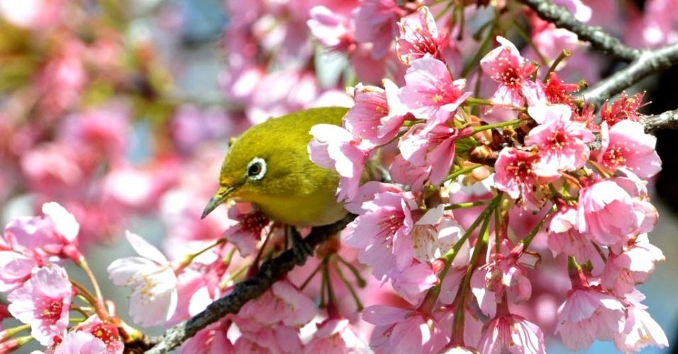 21.mar.2013 - Pássaro pousa em galho de cerejeira em Tóquio (Japão). Observar a floração das cerejeiras é um passatempo que faz parte da cultura do Japão, onde milhões de pessoas saem às ruas todos os anos para admirá-las