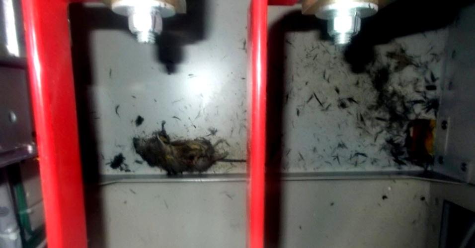21.mar.2013 - Um rato morto foi encontrado nas instalações da usina nuclear de Fukushima (Japão). A imagem foi divulgada nesta quinta-feira (21) pela Tokyo Electric Power Company (Tepco). O animal pode ter sido o culpado por um apagão que paralisou os sistemas de refrigeração das piscinas de combustível na última segunda-feira (18). A usina foi afetada por um tsunami que atingiu o Japão em 2011