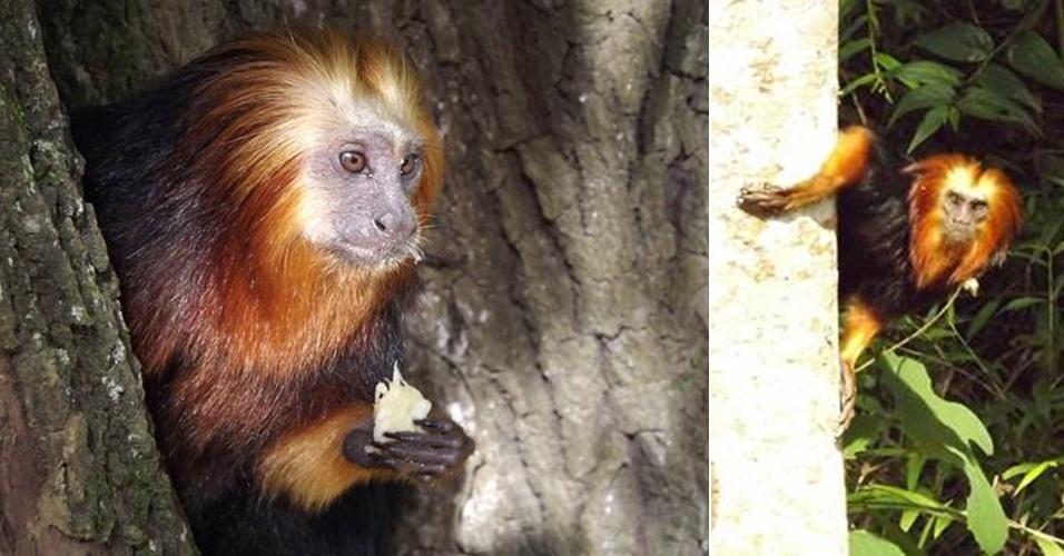 """Março - A ONG Instituo Pri-Matas já retirou metade da população de mico-leão-da-cara-dourada (""""Leontopithecus chrysomelas"""") introduzida nas áreas remanescentes de Mata Atlântica no litoral do Rio de Janeiro e devolveu parte do grupo para seu habitat natural: a faixa de Mata Atlântica no sudeste da Bahia. A espécie ameaçava a sobrevivência dos micos-leões-dourados (""""Leontopithecus rosalia""""), que são nativos das áreas florestadas próximas às cidades de Niterói, São Gonçalo e Maricá, por levar novas doenças e competir diretamente por comida e abrigo - as duas espécies de micos estão classificadas como """"Em Perigo"""" nas listas da União Internacional para a Conservação da Natureza (IUCN, na sigla em inglês) e do Ministério do Meio Ambiente. Dos mais de 100 indivíduos capturados nas matas fluminenses, 66 já foram enviados para a Bahia, onde já tiveram filhotes, 17 passam por exames de quarentena no Centro de Primatologia do Rio de Janeiro, ligado ao Inea (Instituto Estadual do Ambiente), e outros 24 animais doentes aguardam em cativeiro. A iniciativa, que é financiada pela Fundação Grupo Boticário, pretende retirar todos os animais 'invasores' da costa do Rio até o fim do ano e devolver para a região de origem, na Bahia"""