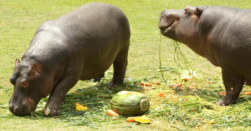 26.mar.2013 - Hipopótamos Pipo e Carlota ganham alimentação especial com abóbora, cenoura e couve de zoológico de Lima, Peru, em comemoraração ao aniversário de 10 anos da chegada deles de Cuba