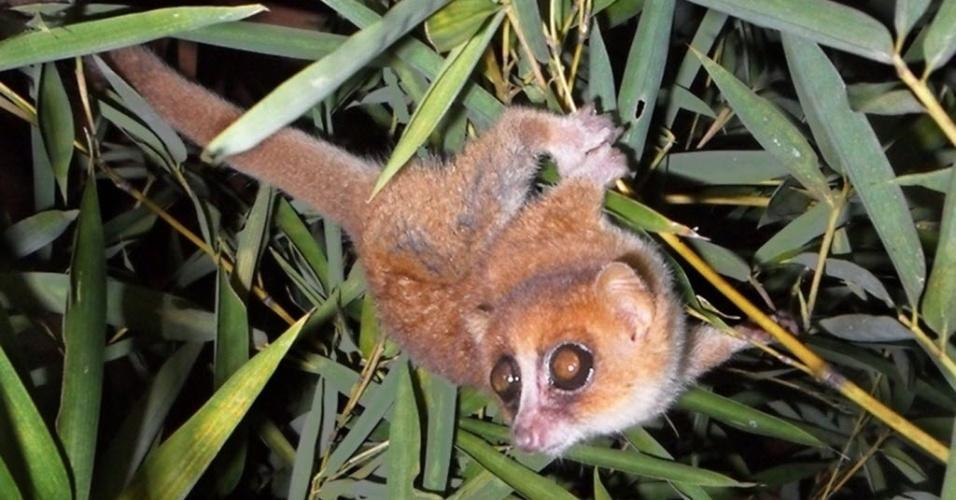 26.mar.2013 - Microcebus marohita, uma das duas novas espécies de lêmure identificadas por biólogos do Centro Primate Alemão. Esta foto do animal foi retirada em 20 de março, em área de Madagáscar