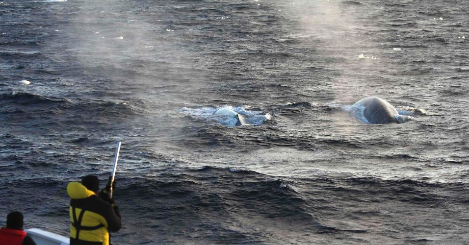 """28.mar.2013 - Cientistas atiram dispositivos de rastreamento via satélite em duas baleias-azuis, que vai permitir colher mais informações do maior animal do mundo, como movimentos velozes durante o verão austral e padrões alimentares no gelo antártico. Além disso, com técnicas acústicas de detecção e acompanhamento, o """"Projeto Baleia-Azul na Antártida"""" captou 26.545 cantos dos cetáceos em 626 horas de gravação, fez 57 fotografias e 23 biópsias durante uma expedição de sete semanas no mar Ross"""