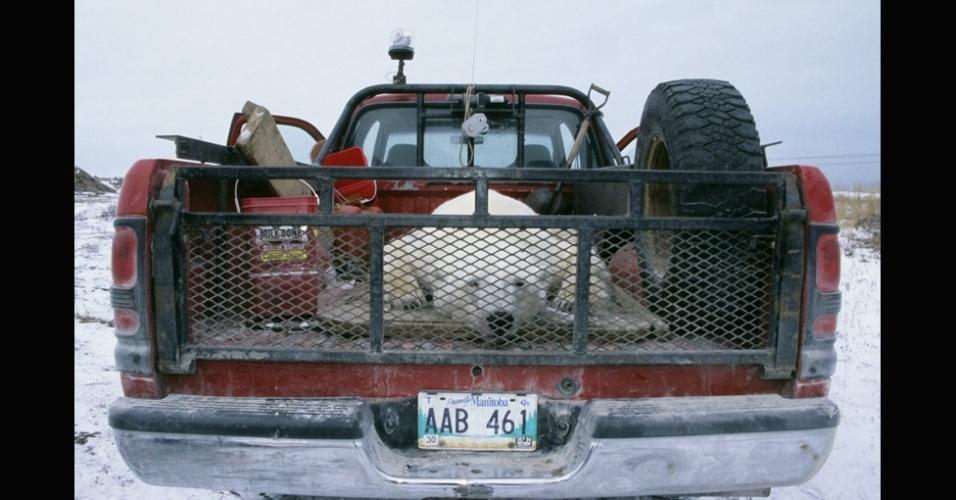 28.mar.2013 - ÁLBUM DA BBC - Os ursos que chegam perto demais das áreas ocupadas são capturados e levados mais para o norte, transportados por helicópteros. Acima, um urso capturado em Churchill, Manitoba, no Canadá