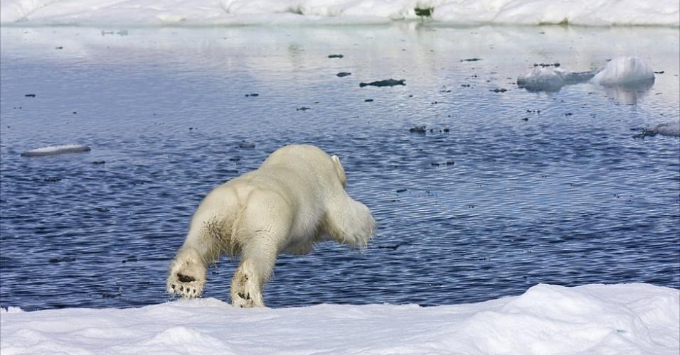 28.mar.2013 - ÁLBUM DA BBC - Ursos polares e focas são os habitantes primários da região do mar gelado, no Ártico. Os ursos viajam acima da calota polar e as focas, abaixo, pelo mar. O encontro, quando o urso está caçando, ocorre nos buracos no gelo. Acima, o mergulho de um jovem urso