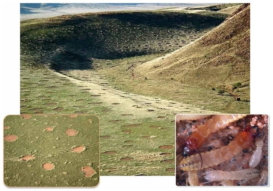 """29.mar.2013 - Os cupins de areia (""""psammotermes"""") são responsáveis pelos misteriosos círculos de grama que aparecem nas pradarias africanas, conhecidos como """"anéis de fadas"""" ou """"cirandas de bruxa"""", segundo o botânico Norbert Juerguens, da Universidade de Hamburgo, na Alemanha. As estranhas formações de 2 a 12 metros de diâmetro têm o centro vazio (detalhe à esquerda), pois os insetos se alimentam de raízes de grama, pastagens e outras plantas que ali estão. A falta de vegetação no interior dos círculos faz com que a água da chuva não evapore e fique no solo arenoso, permitindo a sobrevivência dos cupins (detalhe à direita)"""