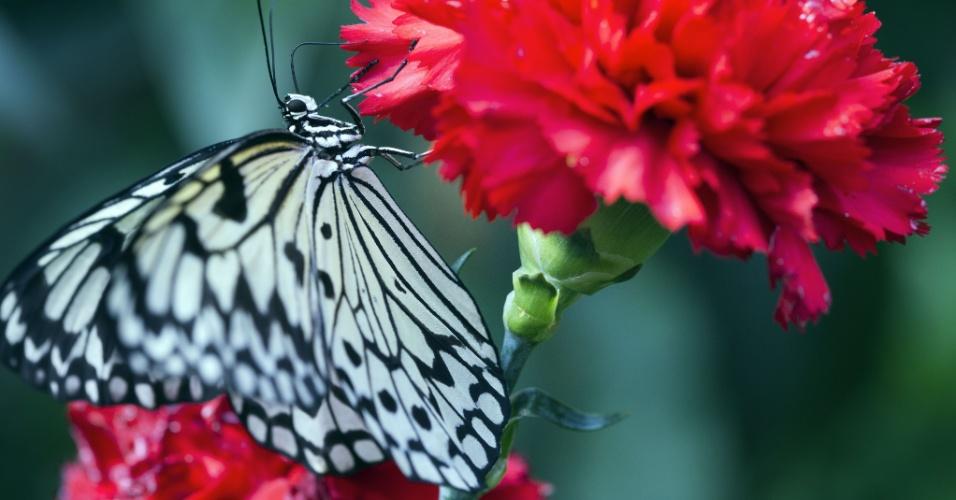 4.abr.2013 - Borboleta pousa em um cravo vermelho no parque das borboletas em Klutz, na Alemanha, nesta quinta-feira (4). No local, os visitantes podem observar até 500 tipos de borboletas da Ásia e da América do Sul