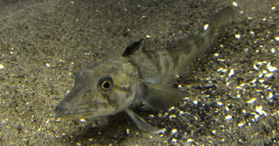 5.abr.2013 - O Aquário de Tóquio, no Japão, diz ter os únicos exemplares de um peixe com sangue totalmente transparente. O animal não tem hemoglobina, o que dá a coloração vermelha ao sangue e transporta oxigênio, nem escamas e vive a mil metros de profundidade no oceano Antártico. A espécie foi encontrada por pescadores em 2011, mas só foi apresentada no dia 5 de abril de 2013