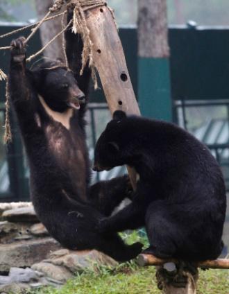 16.abr.2013 - Dois filhotes de ursos negros asiáticos brincam no Centro de Resgate de Ursos do Vietnã no Parque Nacional de Tam Dao, ao norte de Hanói, construído e administrado pela Fundação Animals Asia. Segundo a organização, o comércio de bílis de urso (substância que tem supostas propriedades medicinais) está empurrando essa espécie para extinção, restando apenas cem espécimes na natureza. Milhares desses animais estão presos em gaiolas de fazendas, onde são extraídos cerca de 100 mililitros de bílis de cada mamífero todos os meses