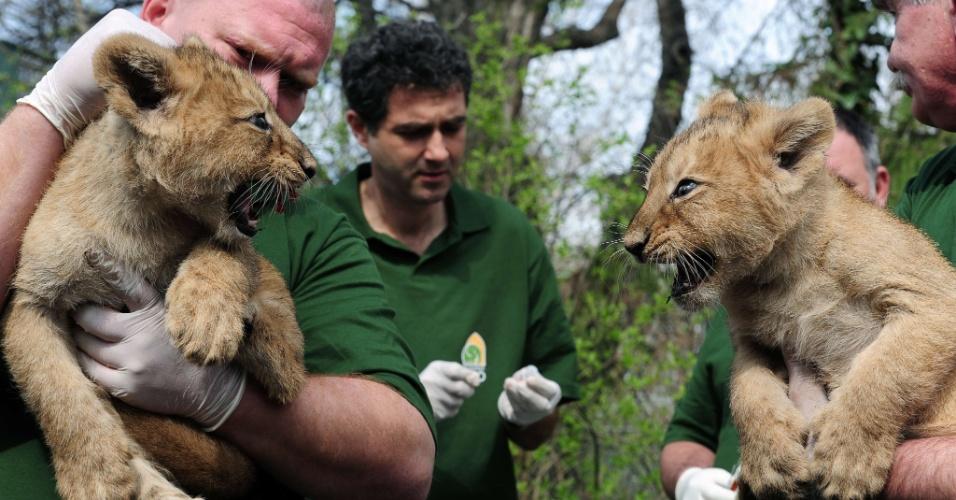 17.abr.2013 - Dois dos quatros filhotes de leão nascidos há dois meses no zoológico de Budapeste, na Hungria, rosnam um para o outro durante apresentação dos animais à imprensa