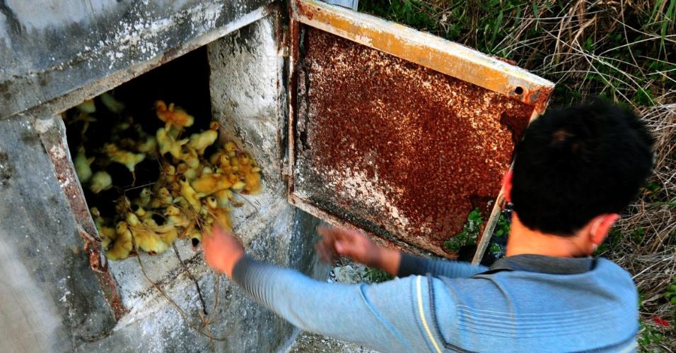 17.abr.2013 - Em imagem deste domingo (14), funcionário de fazenda de criação joga filhotes de patos em forno incinerador em Zhangzhou, no sudeste da China. A fazenda sacrificou 400 mil filhotes por semana, desde a contaminação de um novo vírus de gripe aviária, o H7N9, por humanos, Segundo a agência Efe, autoridades chinesas atualizaram o número de infectados para 77, e o número de mortos subiu para 16. Não há, no entanto, indícios de contaminação entre humanos
