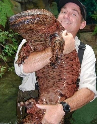 7.mai-2013 - A salamandra gigante chinesa (Andrias davidianus) mereceu ser mostrada ao lado de um homem para passar a ideia de seu tamanho - frequentemente passa do um metro de comprimento e pode chegar a até 1,8 metro. É a maior salamandra e o maior anfíbio do mundo. Ela é totalmente aquática e habita as regiões centrais e sul da China, mas é encontrada raramente atualmente e se encontra em estado crítico de perigo de extinção. Esta espécie tem um corpo alongado, e dois pares de pernas, o focinho é arredondado, e a cauda é  longa. Possui pequenos tubérculos na cabeça e garganta, em filas paralelas com a mandíbula inferior. Os olhos são pequenos, sem pálpebras, e posicionados na parte superior da cabeça larga e plana