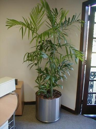 A camedórea-bambu (Chamaedorea seifrizii) é uma palmeira cultivada em meia-sombra que precisa de espaço para que a touceira possa expandir