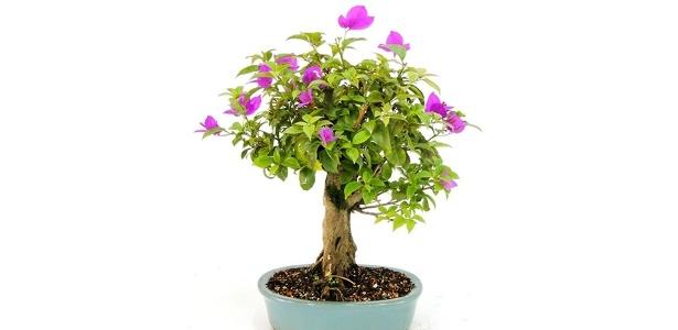 Qualquer espécie de planta pode ser submetida à técnica, que transforma árvores em miniaturas, mantendo características de flores e frutos