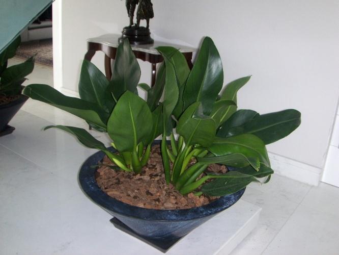 De folhagem ornamental, os filodendros, do gênero Philodendron, são indicados para locais sombreados. Na foto, a espécie Philodendron martianum