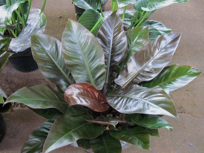 De folhagem ornamental, os filodendros, espécies do gênero Philodendron, são indicados para locais sombreados