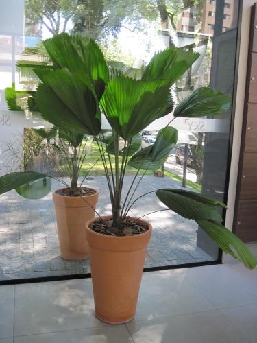 """De meia-sombra, a palmeira-leque ou licuala-grande (Licuala grandis) pode chegar a três metros de altura. Suas folhas grandes, de cor verde-escura, são """"plissadas"""" e brilhantes"""