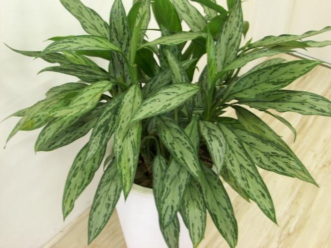 Indicada para ambientes internos, a aglaonema (Aglaonema spp), conhecida como café-de-salão, é uma planta que deve ser cultivada à sombra. Apesar das folhas grandes e manchadas, a espécie é de porte pequeno, com altura variando entre 20 a 150 cm