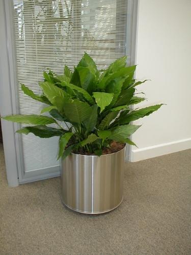 O lírio-da-paz (Spathiphyllum wallisii) é uma planta que deve ser cultivada sempre à meia sombra. Sua folhagem verde escura e brilhante é bastante ornamental