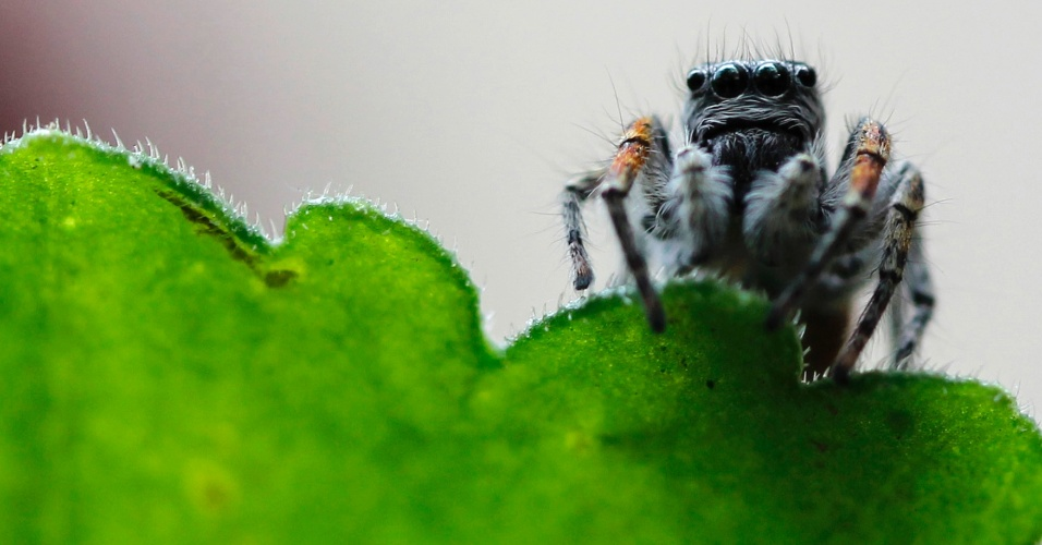 9.mai.2013 - Aranha é fotografa em uma planta em Amã, na Jordânia, nesta quinta-feira (9)