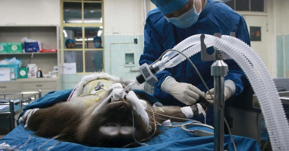 9.mai.2013 - Uma macaca tibetana passou por um transplante bem sucedido no hospital militar de uma universidade em Xi'an, na província de Shaanxi, na China. Pela primeira vez, médicos transplantaram o fígado de um porco transgênico para a fêmea, solução que pode ajudar no desenvolvimento de transplantes humanos