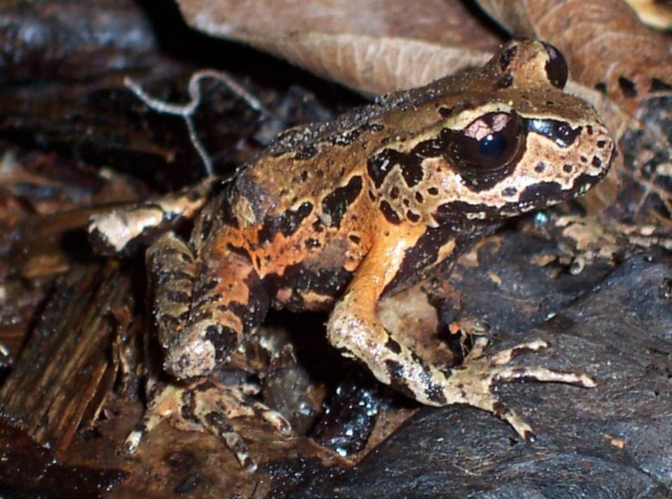 """16.mai.2013 - """"Leiopelma archeyi"""", uma espécie da Nova Zelândia, é um dos 50 anfíbios que foram mapeados pelo projeto EDGE, da Sociedade Zoológica de Londres. O animal, que está em estado crítico de perigo de extinção, é considerado um """"fóssil vivo"""" por ser um dos remanescentes dos anfíbios que viveram há mais de 150 milhões de anos"""