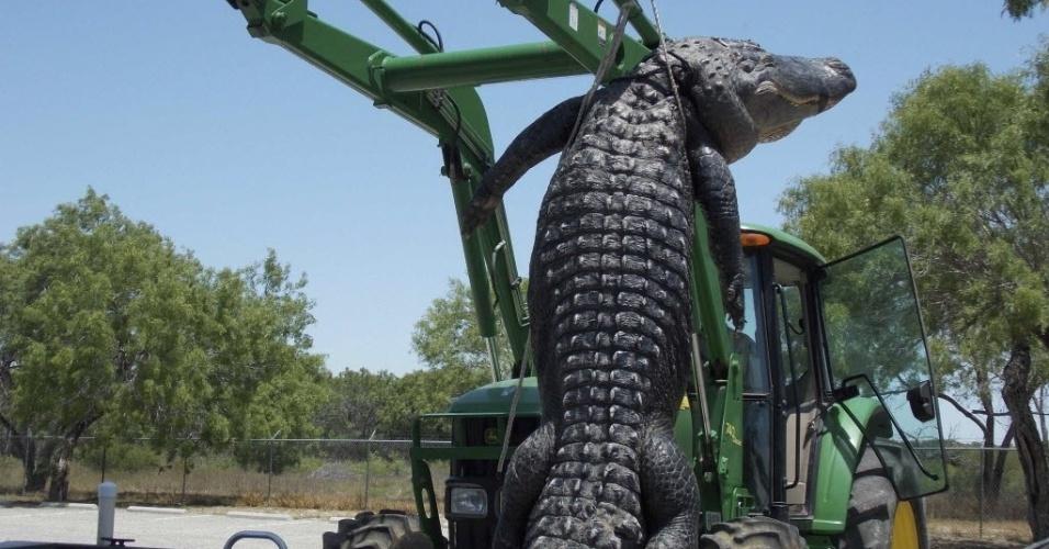 16.mai.2013 - Um jovem de 18 anos capturou um aligátor [espécie de jacaré] de aproximadamente 362 quilos e 4,3 metros de comprimento durante sua primeira caçada realizada em Cotulla, no Texas (EUA). Ele usou uma isca de galinha para capturar o mais pesado réptil já encontrado no Estado norte-americano