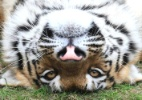 Tigre faz graa para visitantes de zoolgico da Rssia  (Foto: Reuters)