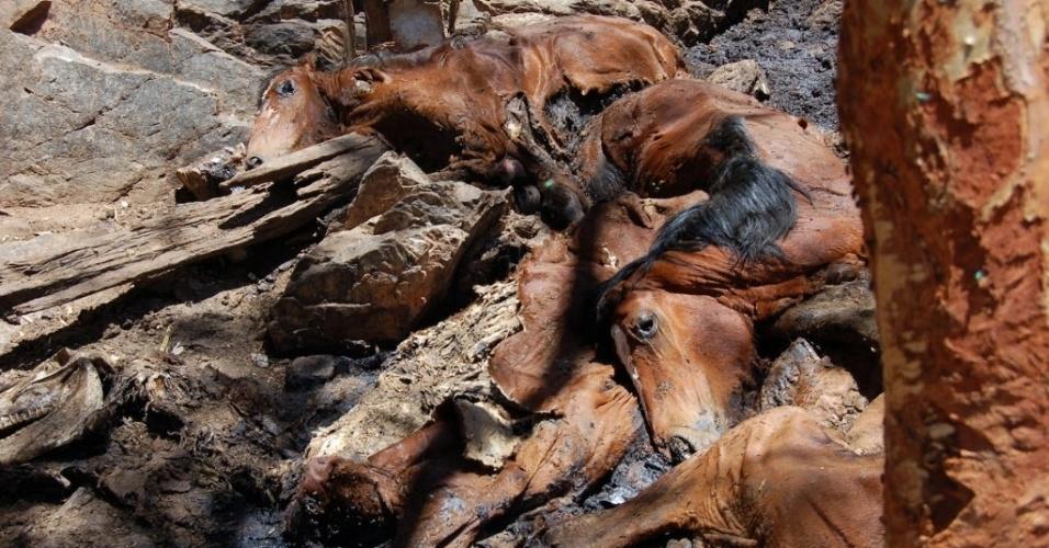 22.mai.2013 - Cavalos mortos de fome e sede são depositados em vala próxima a fonte de água no interior da Austrália. O país governo iniciou uma operação para sacrificar cerca de 10 mil cavalos selvagens da espécie Waler para evitar que haja contaminação dos rios nessa região árida australiana, conhecida como Outback. Os cavalos selvagens serão sacrificados com disparos feitos de helicópteros com o fim da operação prevista para junho