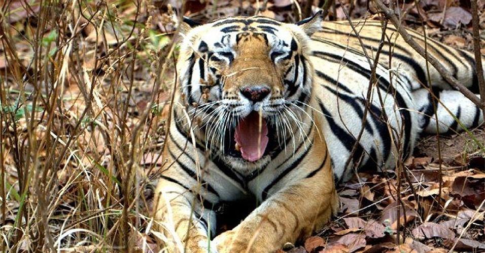 22.mai.2013 - Considerado em perigo de extinção, o tigre Bengala (Panthera tigris tigris) tinha em 2011 cerca de 1.700 espécimes na Índia, comparado com 1400 em 2006. Apesar de também estarem no Nepal, Butão e Bangladesh, os tigres só ocupam hoje 7% de seu território original. Assim, os pesquisadores acreditam que estes animais já perderam muita de sua variedade genética. Para calcular a diversidade de um século atrás, os cientistas pesquisaram em um banco de genes e extraiu DNA de 53 ossos de museus, de 1836 a 1955 e de 123 tigres vivos hoje em dia. Em comparação, foi possível ver que o DNA nuclear não difere muito -- aquele passado de pais para filhos. Assim, apenas 7% das variações ainda estão presentes, o que é um perigo evolutivo para a espécie