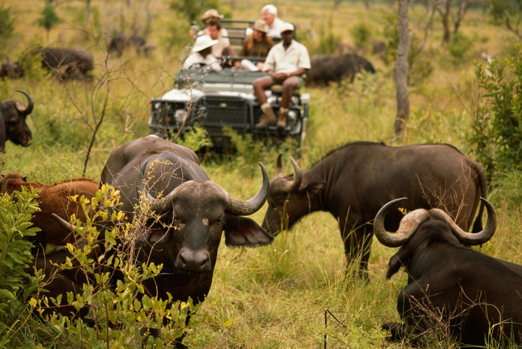 Herd of cape buffaloes (Syncerus caffer) before off road vehicle