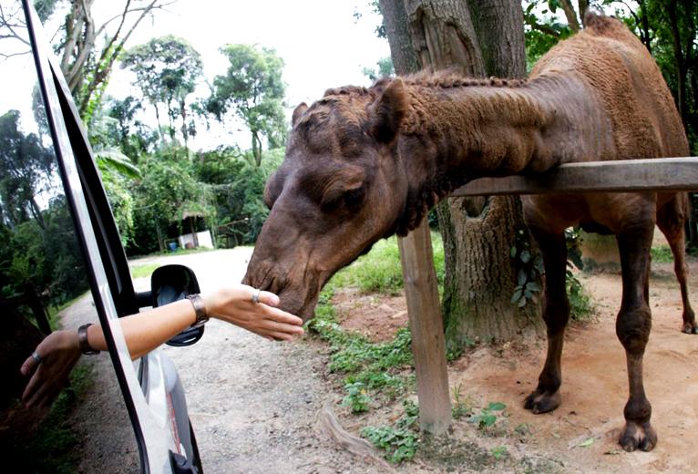 camelo-zoo