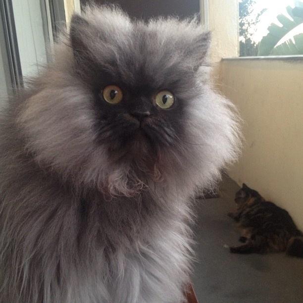 1º.set.2013 - Mistura de persa e himalaio, Colonel Meow entrou para o Livro dos Recordes Guinness por possuir o pelo mais longo, com 22,87cm de comprimento. Antes dessa nomeação, o gato e seus donos já aproveitavam a fama na internet com milhares de seguidores