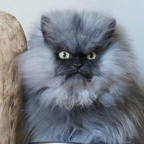 """1.set.2013 - Os donos Anne Marie Avey e Eric Rosario criaram uma personalidade extravagante para Colonel Meow na internet - ele também é conhecido como um dos gatos mais """"mal-humorados"""" da web"""