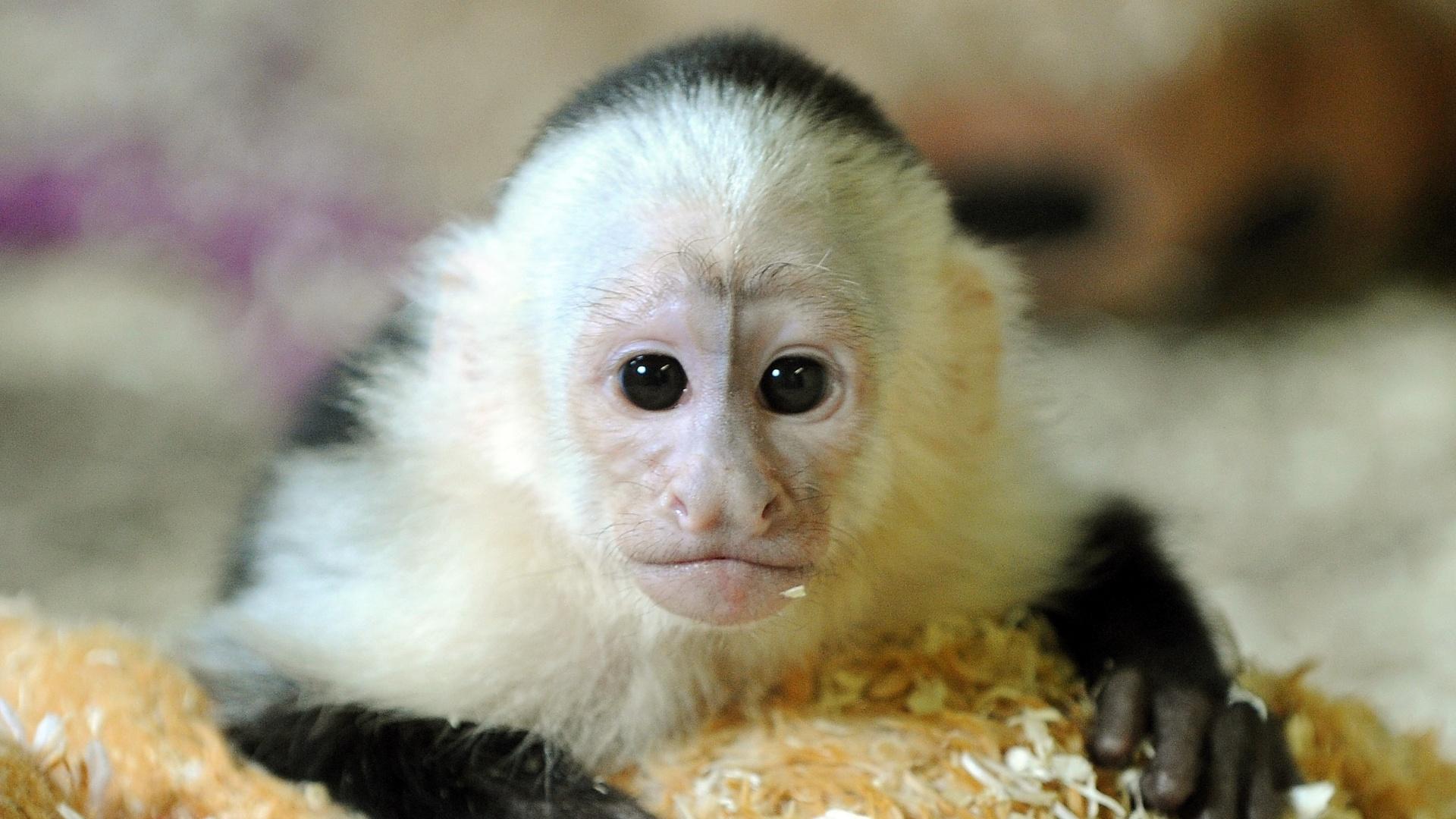 31.mai.2013 - Mally, o macaco-prego que pertencia ao cantor Justin Bieber, foi levado para um parque alemão. Ele foi confiscado no aeroporto de Munique uma vez que o cantor não possuía documentação necessária para viajar com o animal