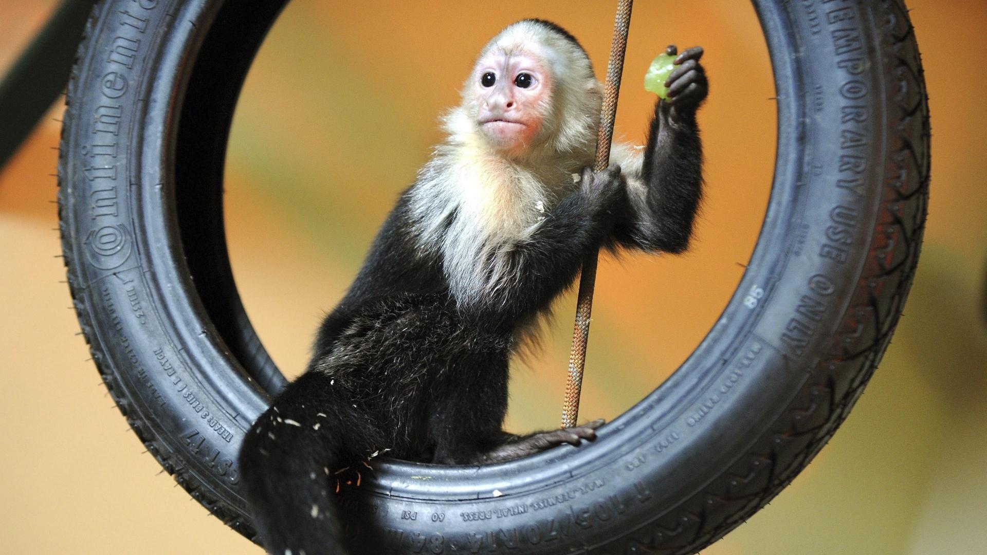 31.mai.2013 - Mally, o macaco que pertencia ao cantor Justin Bieber, foi transferido para o Parque Serengeti, em Hodenhagen, na Alemanha. O macaco-prego ficará em quarentena por algumas semanas no local