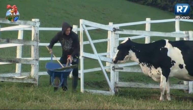 02.jul.2013 - Mateus Verdelho é observado pela vaca enquanto empurra carriola