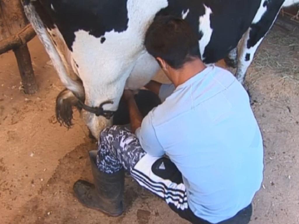 9.jul.2013 - Depois de colocar o bezerro para mamar, Beto ordenha a vaca com facilidade.