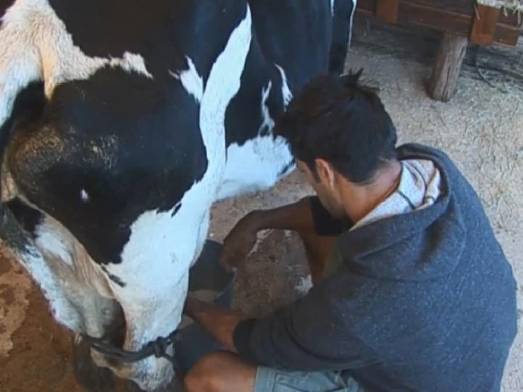 12.jul.2013 - Beto tira o leite da vaca na fria manhã desta sexta-feira