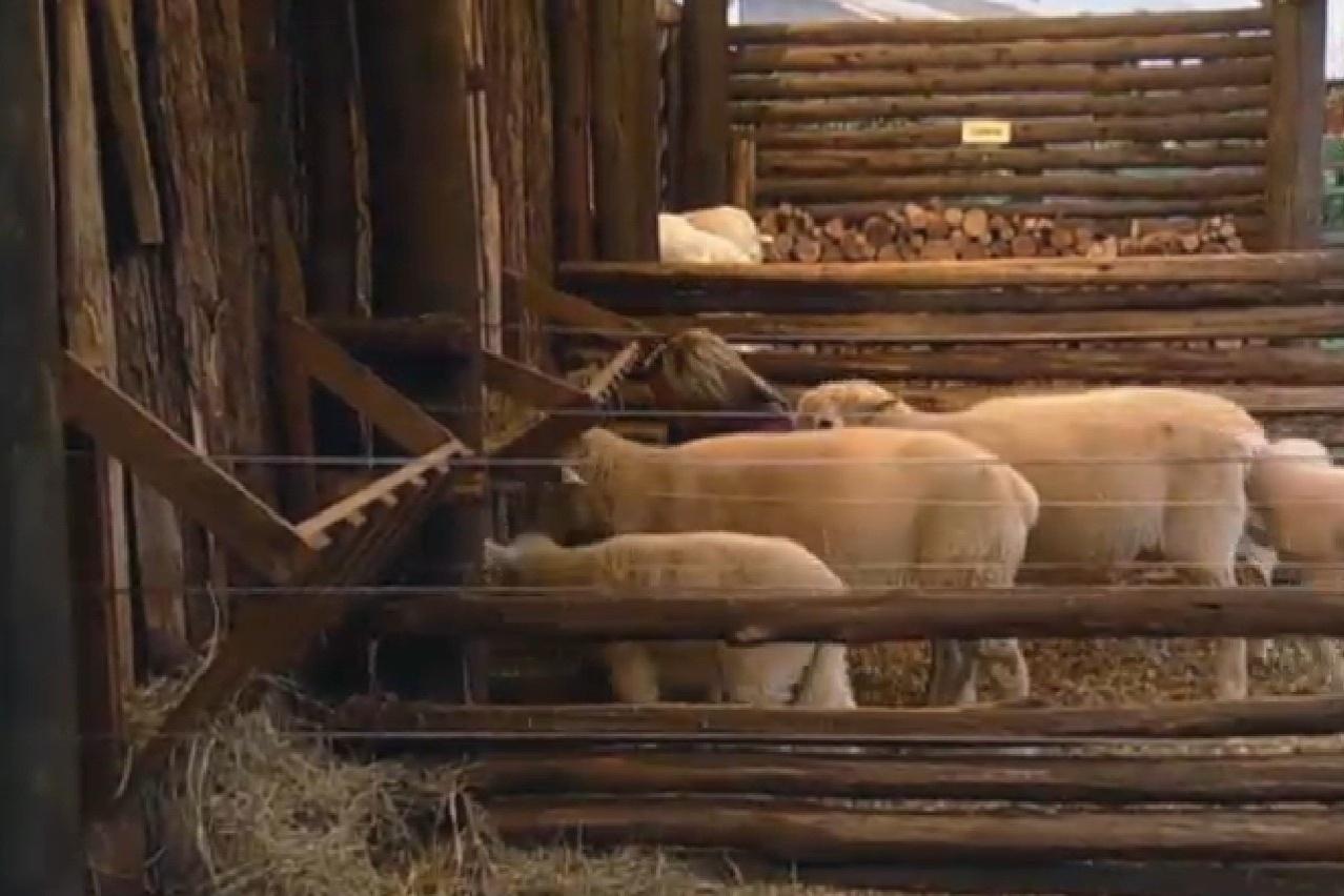 25.jul.2013 - Denise já está de pé e cuida das ovelhas