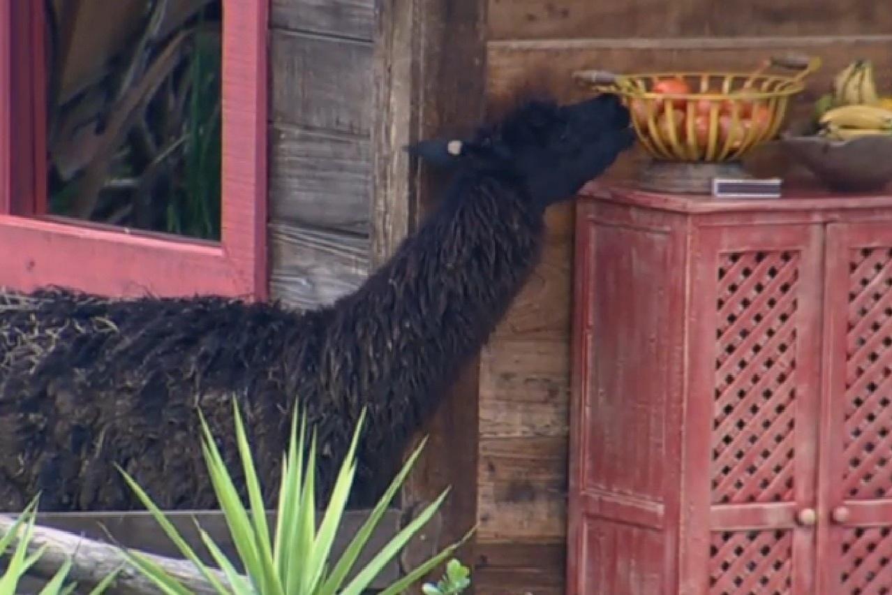 25.jul.2013 - Lhama aproveita que Mateus dorme na varanda do celeiro e tenta
