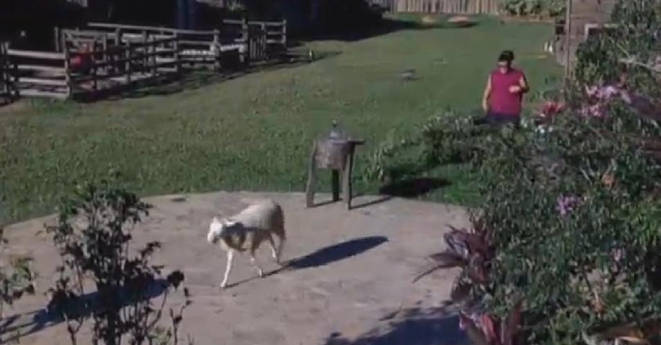 31.jul.2013 - Gominho leva as ovelhas para o pasto