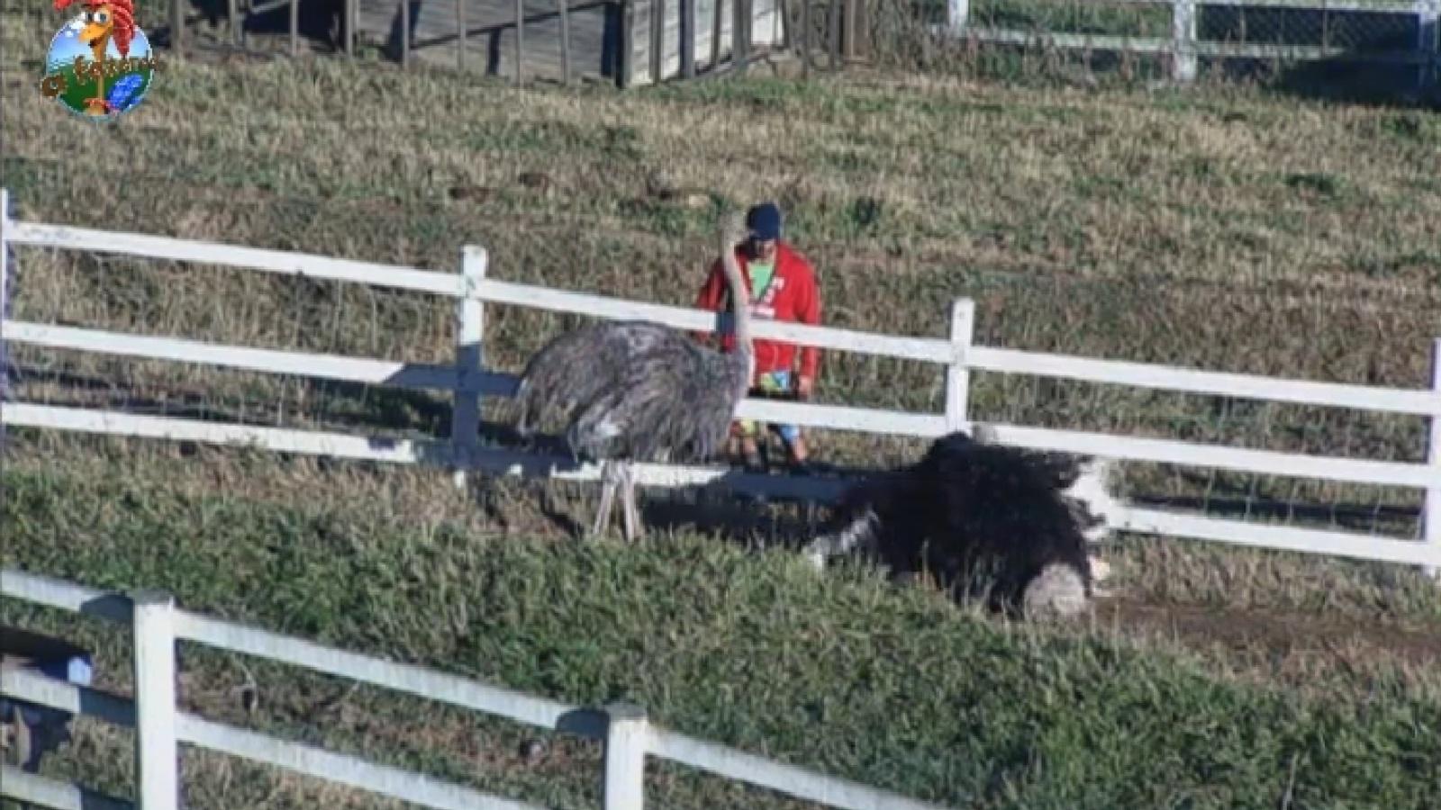 31.jul.2013 - Marcos Oliver encara o avestruz na manhã desta quarta-feira