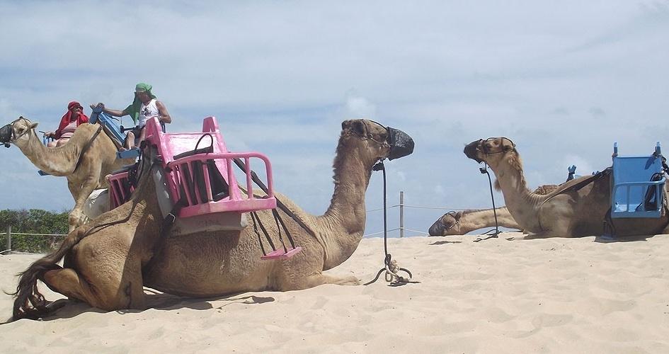 Em cadeiras sobre a corcova, dromedários carregam uma ou duas pessoas nas dunas de Genipabu