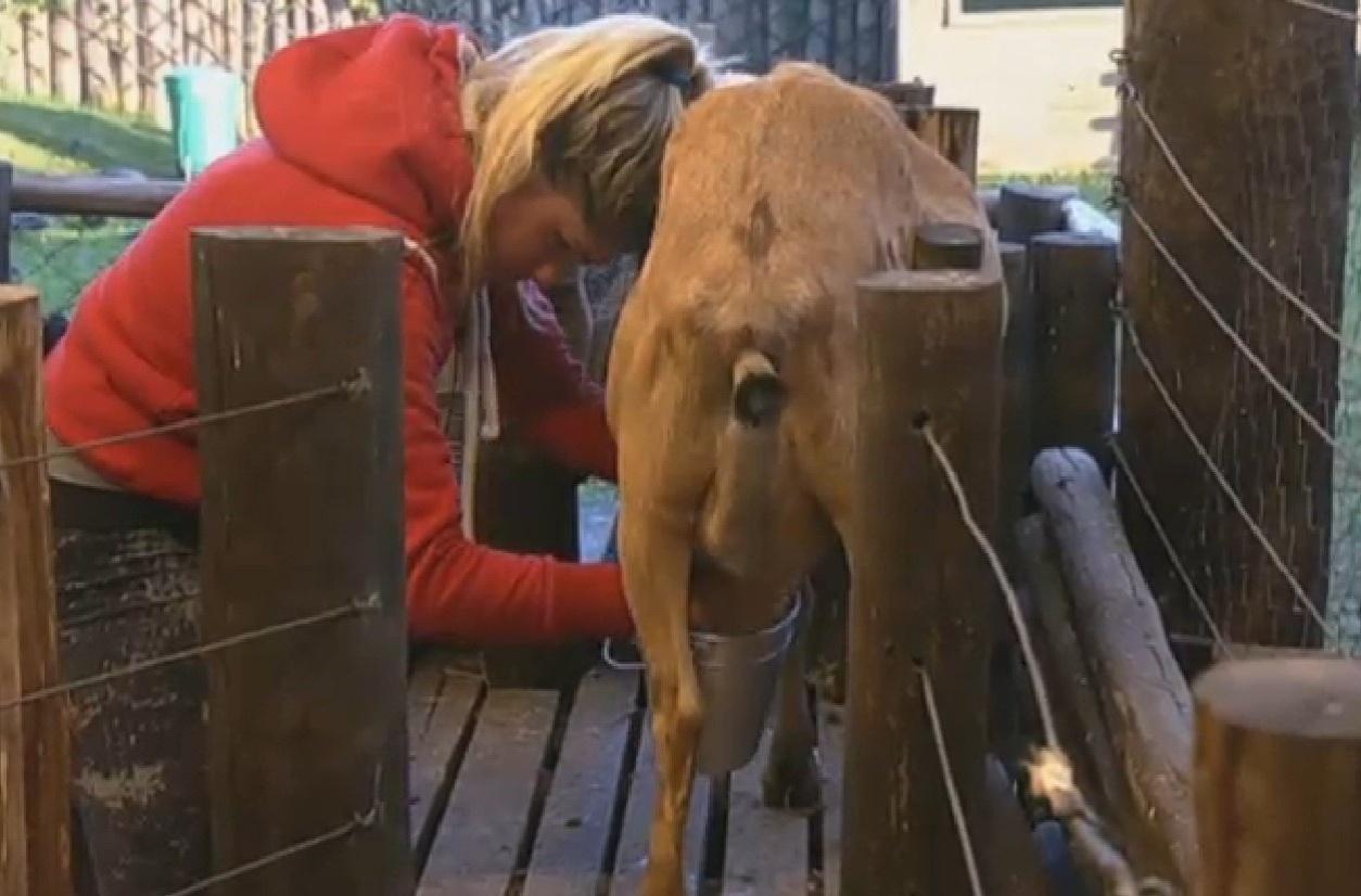 4.ago.2013 - Bárbara Evans faz a ordenha da cabra na manhã deste domingo