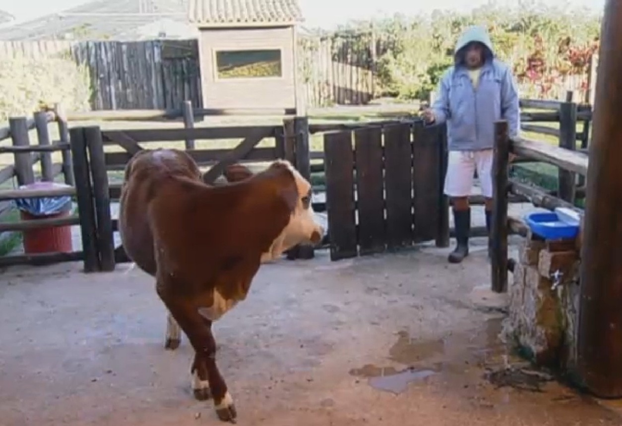 15.ago.2013 - Marcos Oliver se prepara para cuidar das vacas