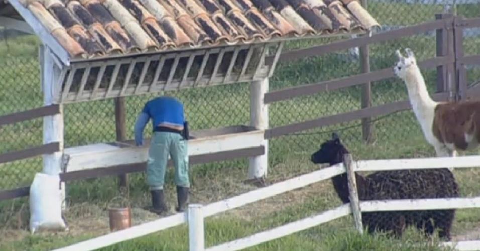 22.ago.2013 - Paulo Nunes cuida das lhamas na manhã desta quinta-feira